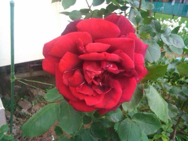 路傍の薔薇