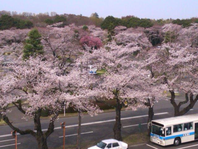 府中試験場の桜