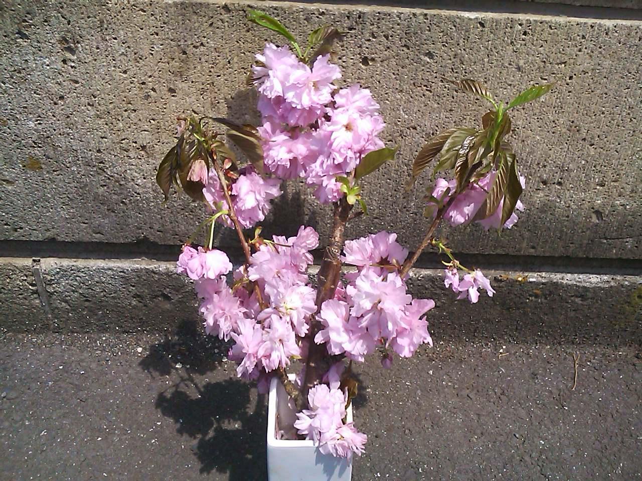 小川和佑先生のお宅の桜「関山」