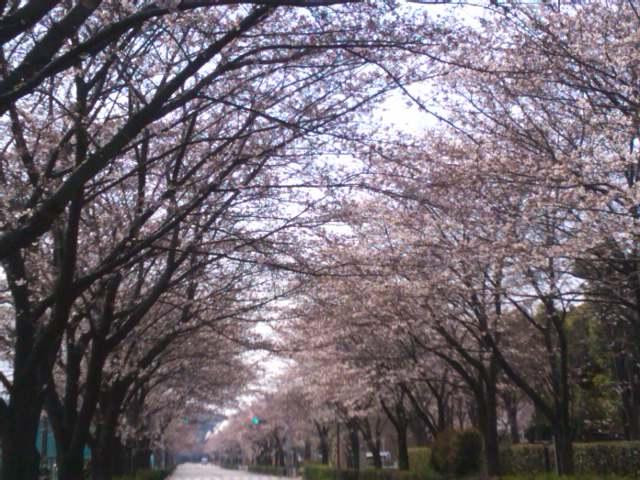 関東村スタジアム通りの桜並木