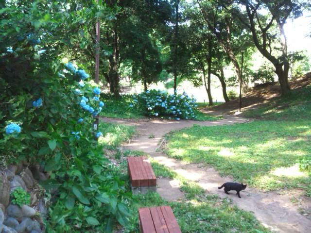 箱根山の紫陽花と黒猫