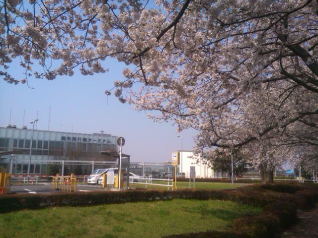 調布飛行場ターミナル前の桜